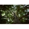 Huile essentielle de Bois de HIBA d'AOMORI par CUL DE SAC au Japon